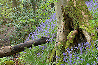 Bluebells growing in an ancient beech woodland in the Forest of Bowland Lancashire