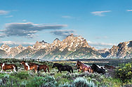 Running in the remuda at the Triangle Ranch in Jackson Hole Wyoming