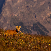 Red fox, Beartooth Plateau, Montana, Wyoming