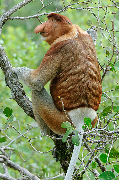 Proboscis Monkey (Nasalis larvatus), male