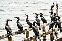 Biguás na Costa da Lagoa. Florianópolis, Santa Catarina, Brazil. / Cormorants at Costa da Lagoa. Florianopolis, Santa Catarina, Brazil.