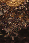 """The hole in the ground filled with 1.7 million bats!<br /> <br /> """"Some of you might shiver at the thought, some will just shrug and think, 'that's just a natural occurrence, a fact of life'. Now imagine a million bats… or 1.8 million to be exact… could you fathom such an abundance of warm-bloodied creatures flying above your head? As amazing as that might sound, it is also a real and true happening at the Island Garden City of Samal. The Rousetteus amplexicaudatus, or Geoffrey's Rousette Fruit Bat, along with 1.8 million of its relatives and friends, has made its home at the Monfort Bat Cave that lies in a 24-hectare property owned by Norma Monfort."""" <br /> ©Norma Monfort/Exclusivepix"""