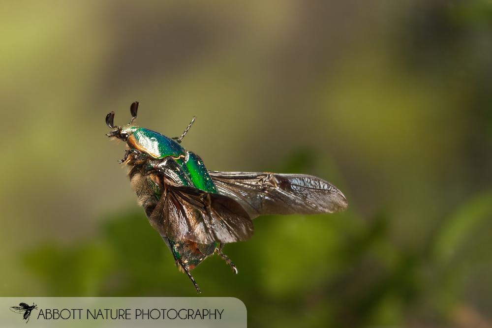 Euphoria fulgida (Scarabaeidae) in flight<br /> TEXAS: Travis Co.<br /> Austin<br /> 26.March.2009<br /> J.C. Abbott