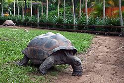 Aldabran Giant Tortoise (Aldabrachelys gigantea), The Australia Zoo, Beerwah, Queensland, Australia