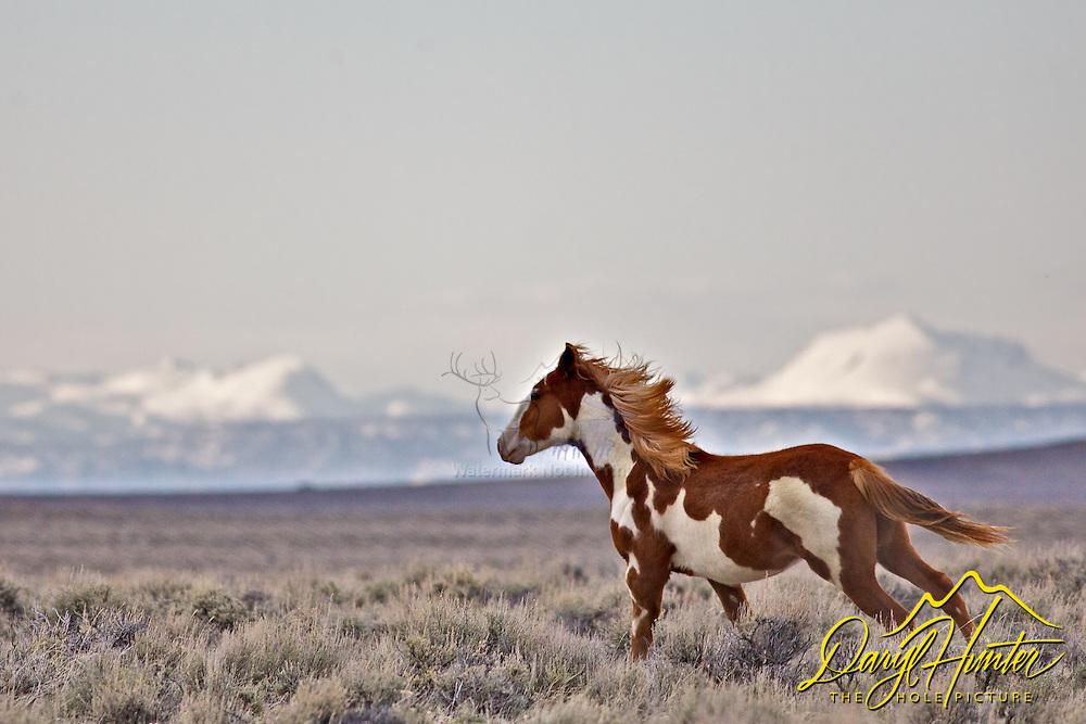 Running Wyoming Mustang