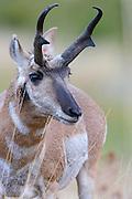 Pronghorn Buck Portrait, Western Montana