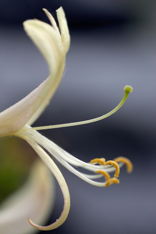 Honeysuckle, Lonicera periclymenum, Burren Ireland
