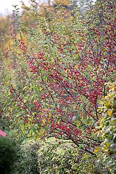 Malus 'Dartmouth' berries - Crab apple.