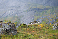Sheep on the mountains of the Lofoten Islands Norway