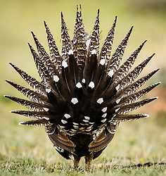 Greater sage-grouse (Centrocercus urophasianus), an icon of the American West, once numbered as many as 16 million birds. Today, fewer than 200,000 remain. Their population is in decline due to loss of habitat from energy development and residential building in sage brush areas. A scientific study found that the population declined 55 percent from 2007 to 2013. Sage grouse are named for the sagebrush that they primarily feed on. <br /> <br /> Greater sage-grouse are an umbrella species. Conserving their habitat benefits 350 other species. Greater sage-grouse had been listed as a candidate for listing under the Endangered Species Act. In 2015, after evaluating the best available scientific and commercial information regarding the greater sage-grouse, the U.S. Fish &amp; Wildlife Service has determined that protection for the greater sage-grouse under the Endangered Species Act is no longer warranted and withdrew the species from the candidate species list.<br /> <br /> Males are known for the large air sacks on their breasts that they inflate during elaborate courtship dances performed on leks (mating areas). Sage-grouse are the largest native grouse in North America.