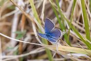 Cupido a. amyntula - Western Tailed Blue