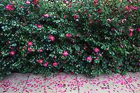 Pink Camelias in Bloom at Huntington Gardens, San Marino, California