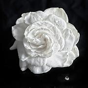 Portrait of a Gardenia.