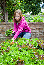 Harvesting salad leaves