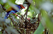 The Sri Lanka Blue Magpie or Ceylon Magpie (Urocissa ornata). it is an endemic species. Sinharaja Forest Reserve. Sinharaja Forest Reserve is a national park in Sri Lanka. It is of international significance and has been designated a Biosphere Reserve and World Heritage Site by UNESCO.