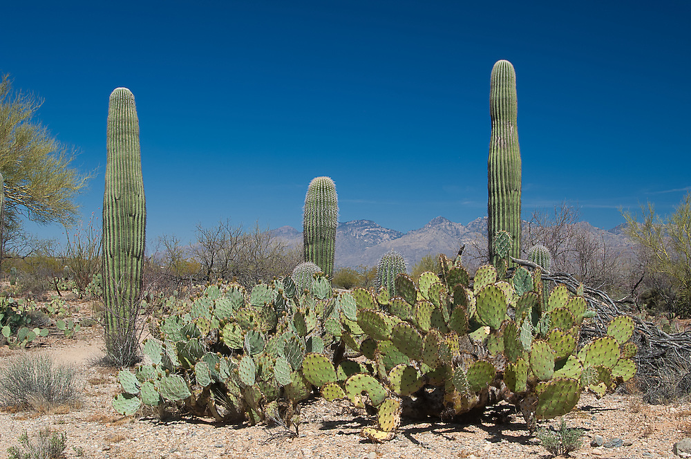 Typical habitat in Saguaro National Park: saguaro and prickly pear cacti, in the Sonoran Deseret, in Tucson, Arizona.