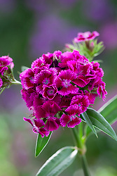 Dianthus barbatus F1 'Sweet Magenta Bicolour'. Sweet William