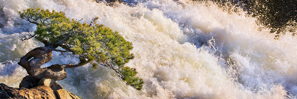 A photo of a bonsai pine tree next to a rushing Eagle Creek in Lake Tahoe, California.