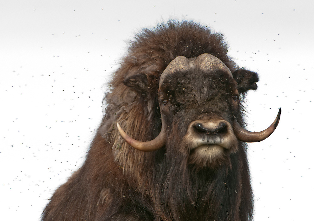 A bull Musk Ox with a cloud of mosquitoes,Arctic National Wildlife Refuge, AK