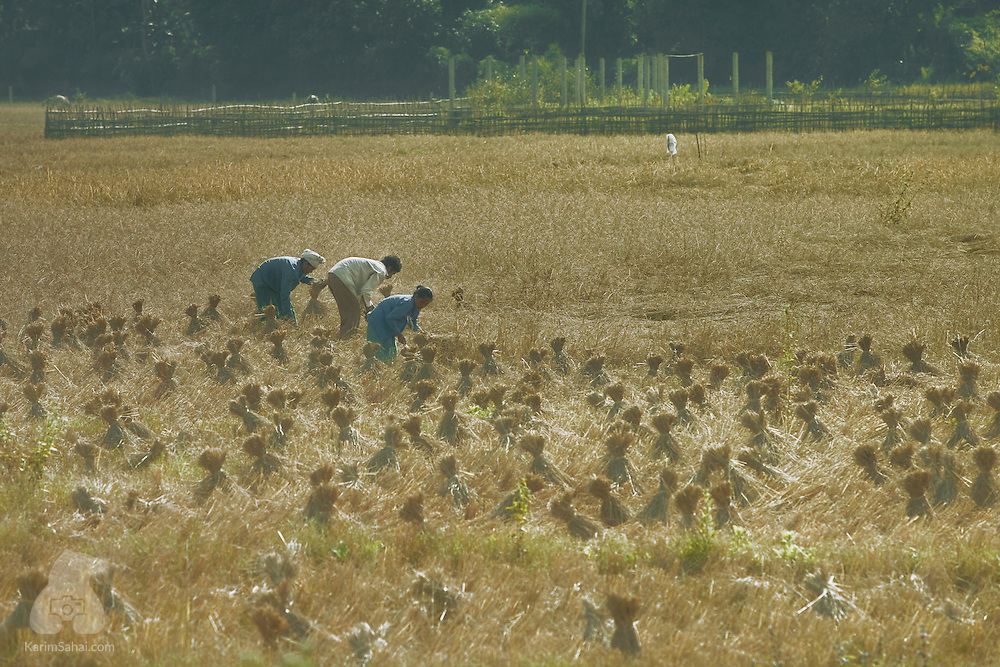 Farmers harvesting rice, Sonapur, Assam, India.