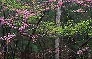 PA Landscapes, Spring blossoms and leaves, Redbud, Colonel Denning State Park, Cumberland Co., Pennsylvania