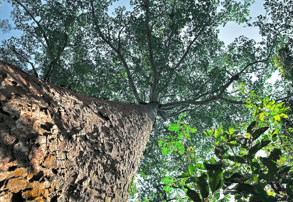Angkor forest : trunk and crown of a rubber tree, looking upward.