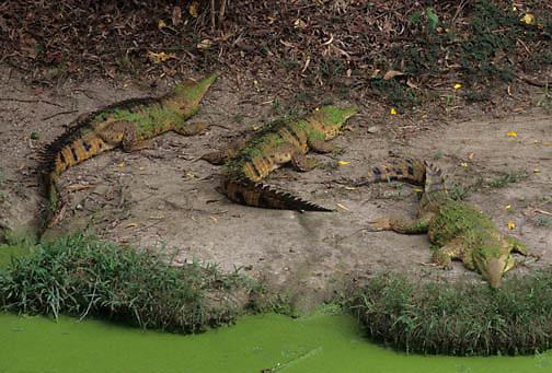 Freshwater Crocodile (Crocodylus johnstoni) in Australia.