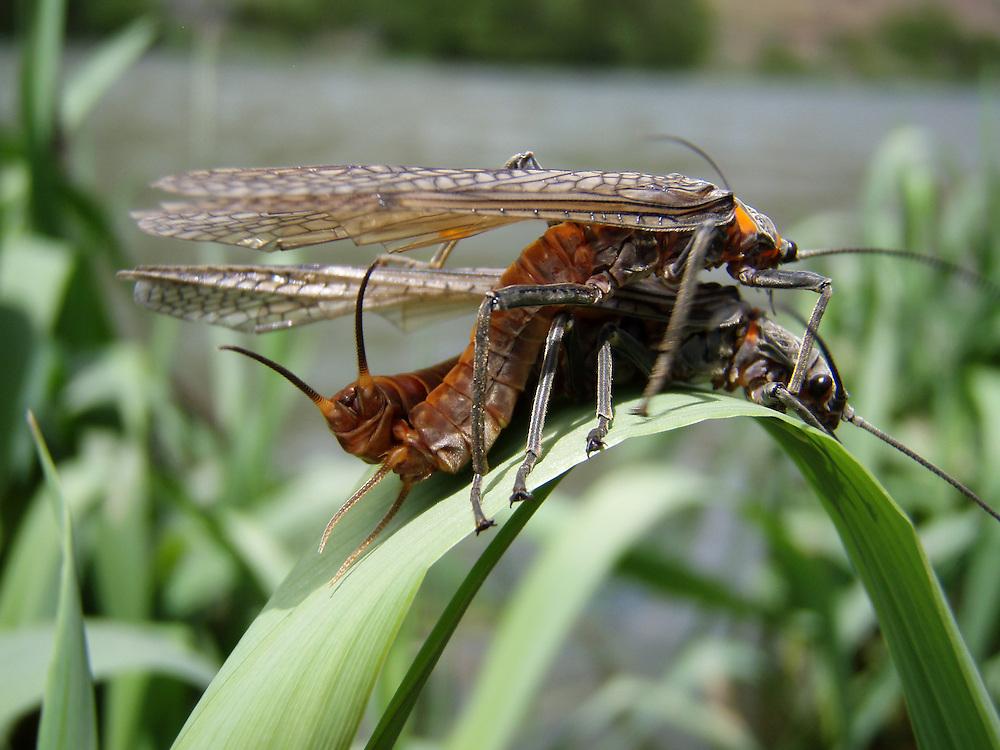 Stoneflies (salmon/golden) cling to vegetation along the Lower Deschutes River.