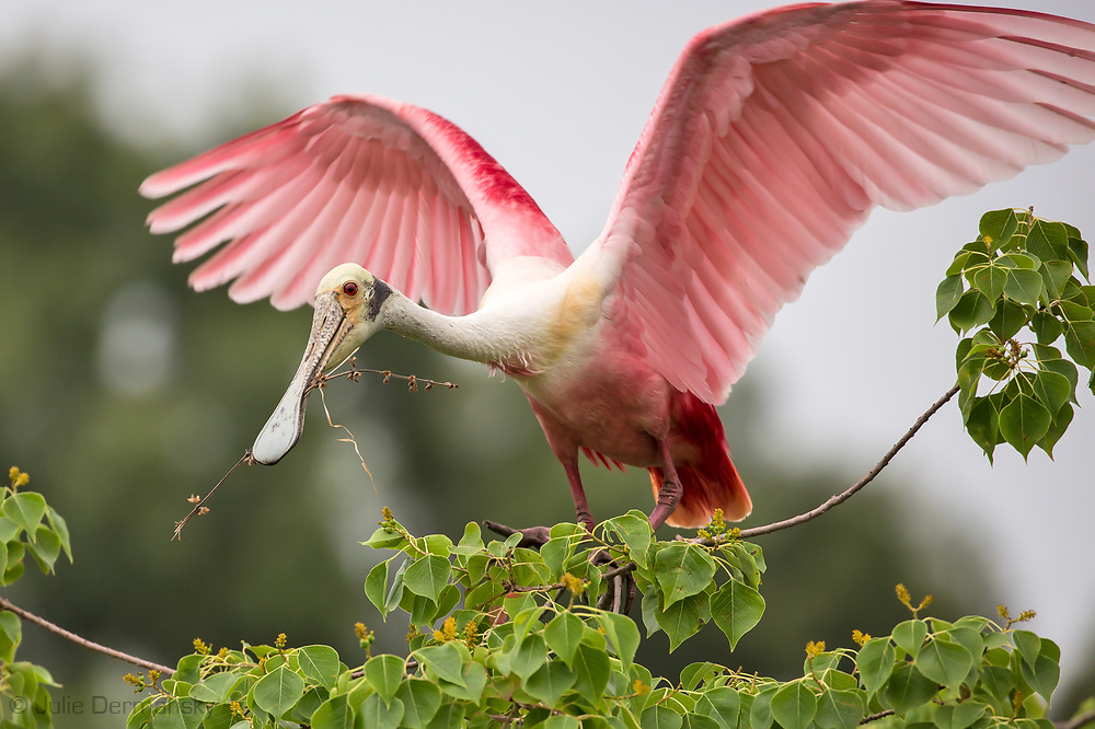 Spoonbill at a rookery on Jefferson Island in Louisiana.