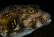 A puffer fish. In the Philippines, muck divers head straight to Dauin to begin the hunt. It is considered one of the premier muck diving locations on the planet. On a bad day at Dauin, you can spot more rare animals than a decade out on the reef...