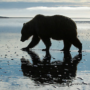 Coastal Brown bear claming on tidal flats at sunrise;  Lake Clark, Alaska in wild.