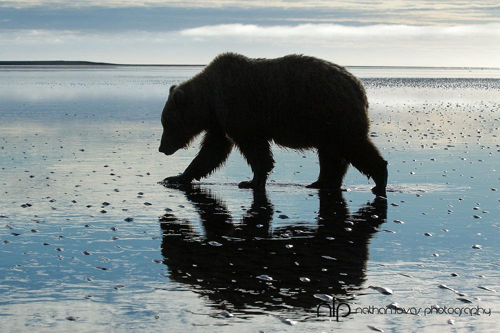 Coastal Brown bear claming on tidal flats at sunrise;  Lake Clark, Alaska in wild.