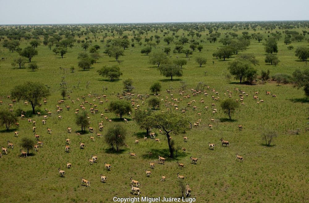 The Boma-Jonglei Landscape is home to some of the most spectacular and important wildlife populations, including  perhaps the largest wildlife migration in the world. An annual migration of  antelope called the white-eared kob may rival the famous wildebeest migration of the Serengeti.(PHOTO: MIGUEL JUAREZ)