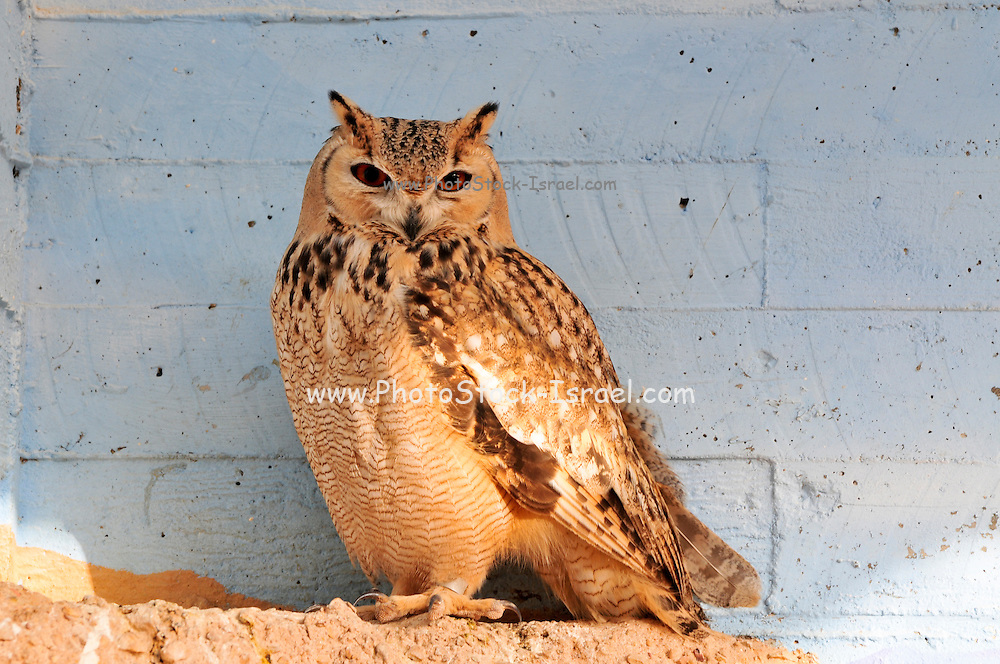 Israel, Aravah, The Yotvata Hai-Bar Nature Reserve breeding and reacclimation centre. Pharaoh Eagle-Owl (Bubo ascalaphus)