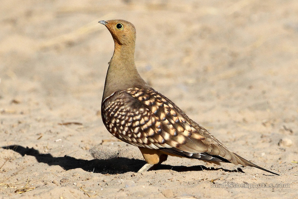 Namaqua Sandgrouse, Pterocles namaqua, Kgalagad, South Africa, by Jonathan Rossouw