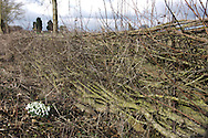 Newly-layed hedge. An example of good countryside maintenance.