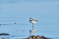 Semipalmated Plover (Charadrius semipalmatus) foraging on beach, Cherry Hill Beach, Nova Scotia, Canada