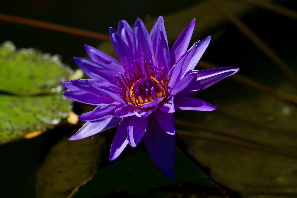 A stunning looking dark purple water lily at the lily pond.