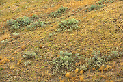 Rolling hills and coulees of mixed-grass native prairie<br />Grasslands National Park<br />Saskatchewan<br />Canada