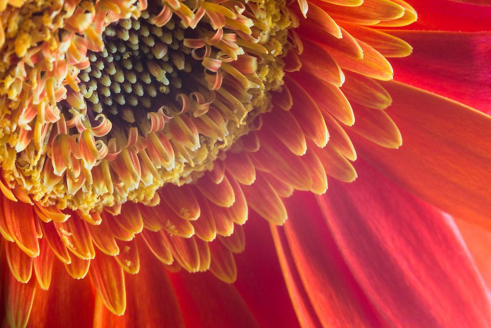 Macro floral photograph of an orange Gerbera Daisy.