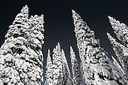 Tracie Spence's unique interpretation of snow laden trees in west Yellowstone National Park - image is names 'Waiting To Grow Up'