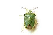 Bishops miter shield bug