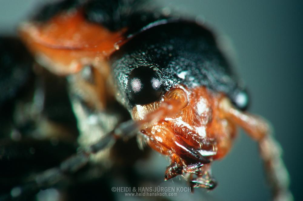 DEU, Deutschland: Porträt von einem Weichkäfer (Cantharidae), Nahaufnahme | DEU, Germany: Soldier beetle (Cantharidae), insect portrait, close-up |