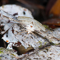 Unidentified moth camouflaged against the forest floor, Gunung Silam, Sabah, Malaysia, Borneo, South East Asia.