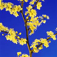 Blossom on Blue