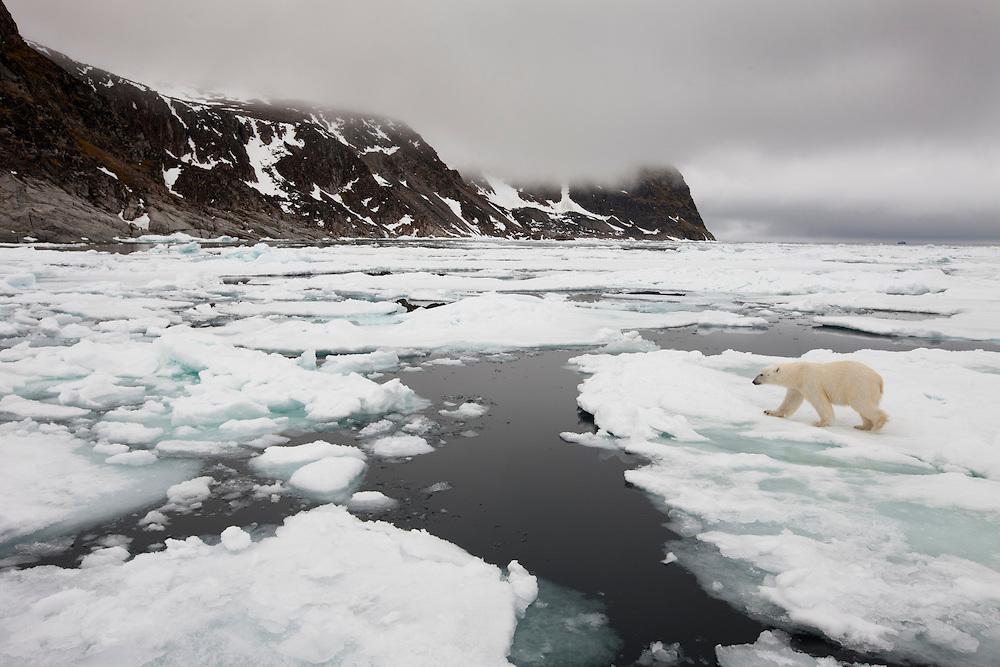 Norway, Svalbard, Nordaustlandet, Polar Bear (Ursus maritimus) walking across sea ice floe near Phippsøya (Phipps Island) on summer morning