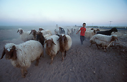 TURKEY HARRAN JUL02 - Kurdish children shepherds attend to a flock of sheep in the dry Syrian plains near the village of Harran. Without irrigation from the a tributary to the Euphrates river, the entire area would revert to arid wasteland...jre/Photo by Jiri Rezac..© Jiri Rezac 2002..Contact: +44 (0) 7050 110 417.Mobile:  +44 (0) 7801 337 683.Office:  +44 (0) 20 8968 9635..Email:   jiri@jirirezac.com.Web:     www.jirirezac.com