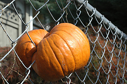Pumpkin growing through chainlink fence