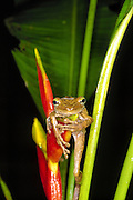 Brown tree frog, Rainforest along Tambopata River, Amazon Basin, Peru. Tambopata-Candamo Reserve.
