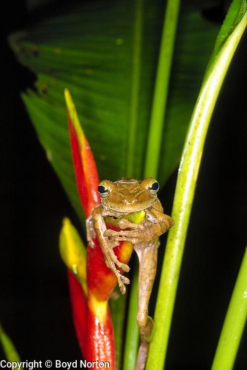 Brown tree frog, Rainforest along Tambopata River, Amazon Basin, Peru. Tambopata-Candamo Reserve.